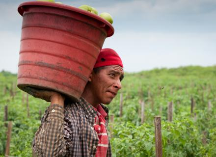 Agricultural worker carries a bucket of produce on their back